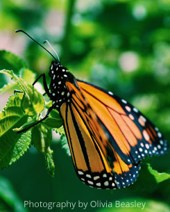 butterfly- Photography by Olivia Beasley